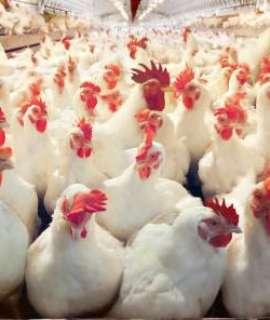 """""""انخفاض سعر الدجاج"""" طالع أسعار الخضروات واللحوم في أسواق غزة"""