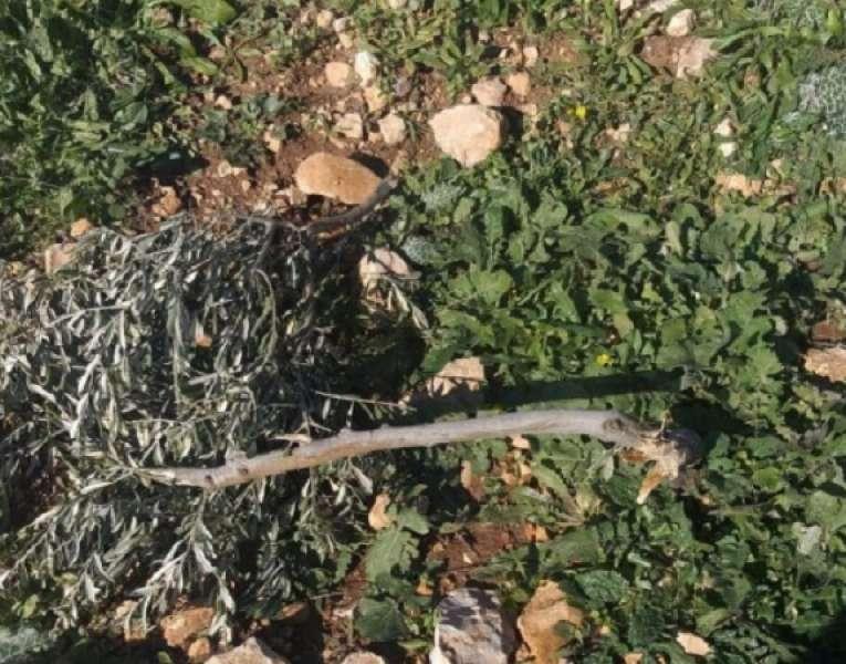 إقتلاع وتكسير عشرات أشجار الزيتون غرب سلفيت